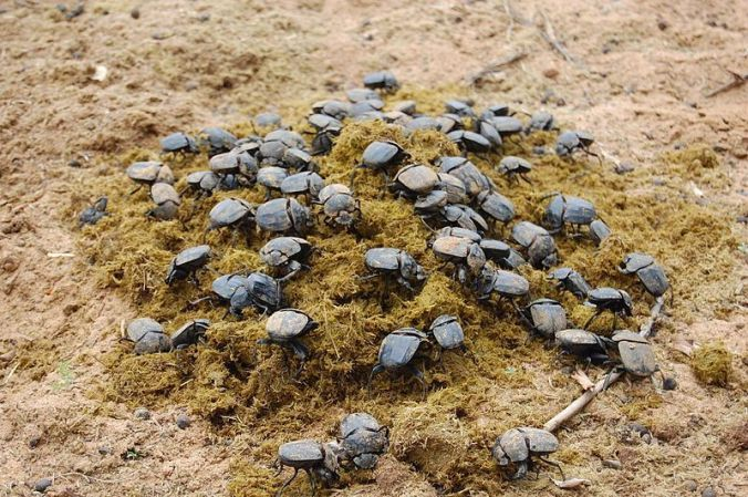 Dung beetles do their thing in Namibia: Photo copyright, Johan Strydom, Creative Commons.